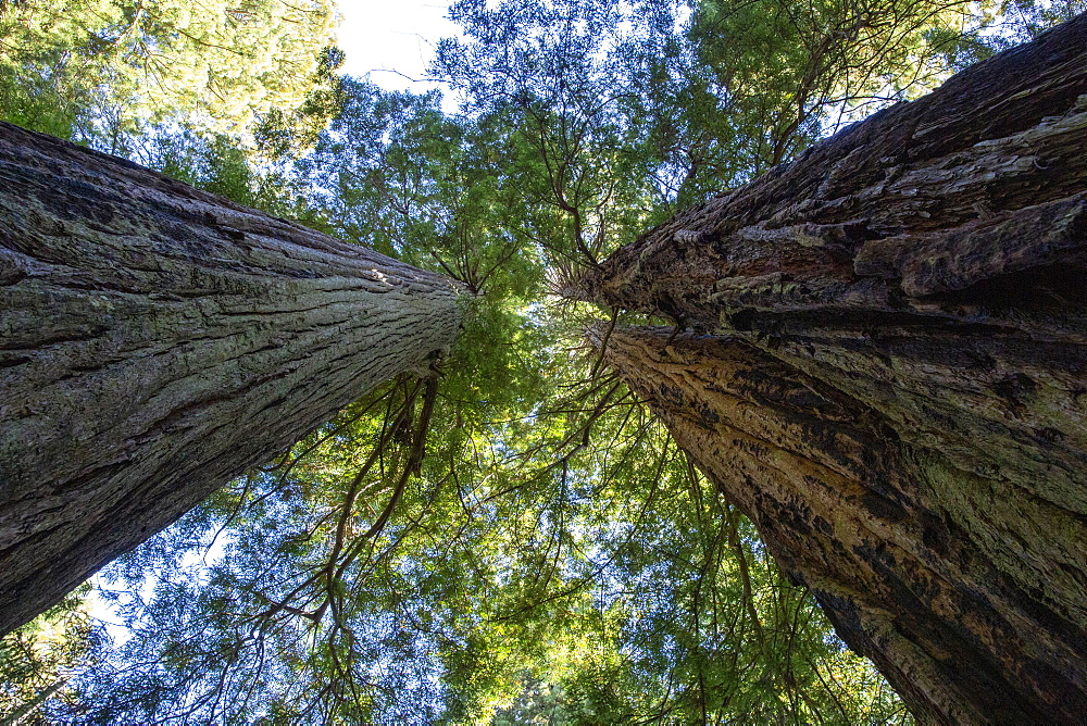 Giant redwoods on the Lady Bird Johnson Trail in Redwood National Park, California, USA.