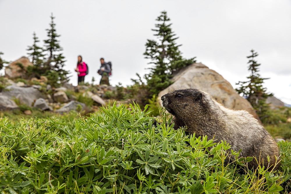 Adult hoary marmot, Marmota caligata, on the Deadhorse Creek Trail, Mt. Rainier National Park, Washington, USA.