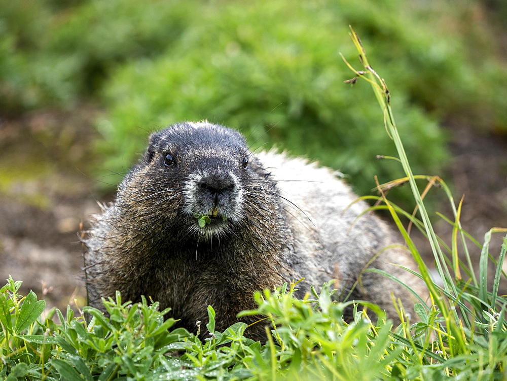 Adult hoary marmot, Marmota caligata, on the Skyline Trail, Mt. Rainier National Park, Washington, USA.