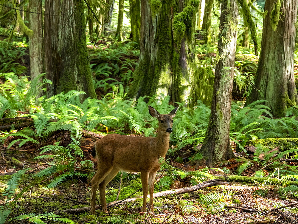 Columbian black-tailed deer, Odocoileus hemionus columbianus, Olympic National Park, Washington, USA. - 1112-5088