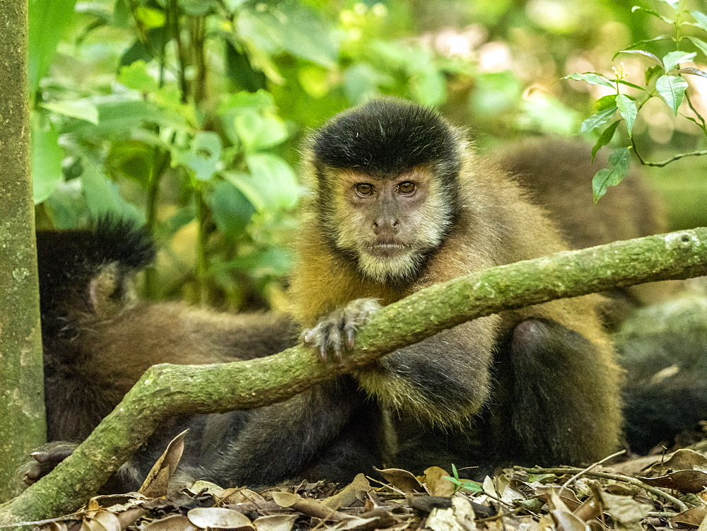 An adult black capuchin, Sapajus nigritus, near the trail at Iguazú Falls, Misiones Province, Argentina.