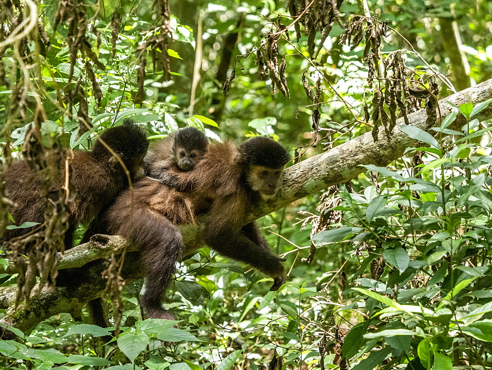 An adult black capuchin, Sapajus nigritus, with youngster on its back at Iguazú Falls, Misiones Province, Argentina.