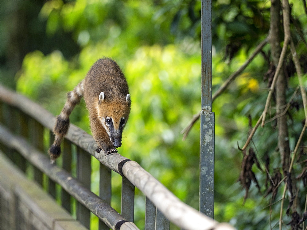 Young South American coati, Nasua nasua, on the boardwalk at Iguazú Falls, Misiones Province, Argentina.