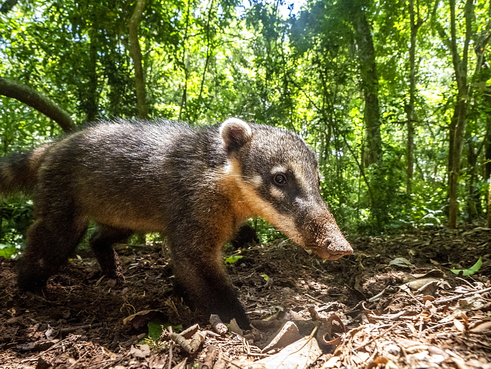 Curious adult South American coati, Nasua nasua, near the trail at Iguazú Falls, Misiones Province, Argentina.