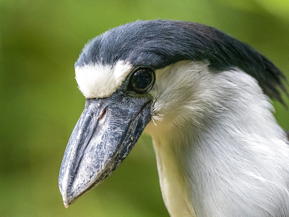 Captive adult boat-billed heron, Cochlearius cochlearius, Parque das Aves, Foz do Iguav?u, Paranv? State, Brazil.