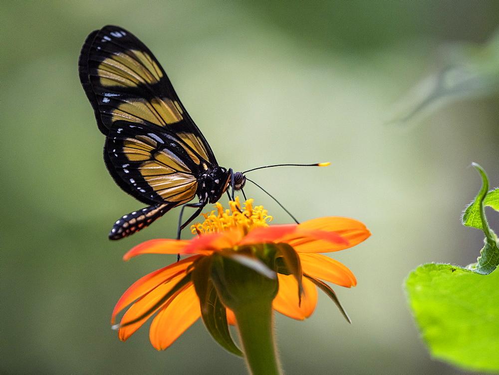 Captive Themisto amberwing, Methona themisto, Parque das Aves, Foz do Iguav?u, Paranv? State, Brazil.