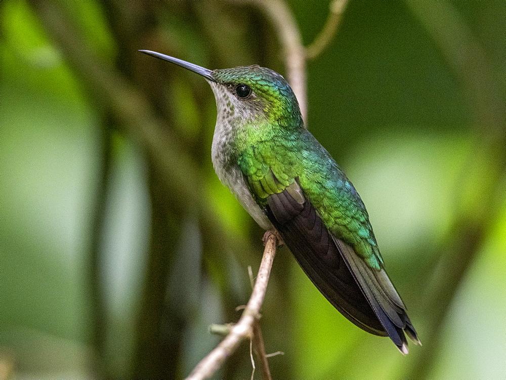 Captive versicoloured emerald, Chrysuronia versicolor, Parque das Aves, Foz do Iguav?u, Paranv? State, Brazil.