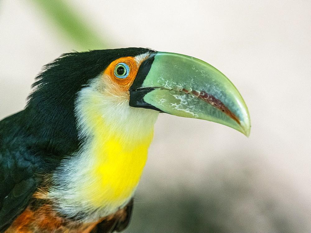 Captive red-breasted toucan, Ramphastos dicolorus, Parque das Aves, Foz do Iguav?u, Paranv? State, Brazil.