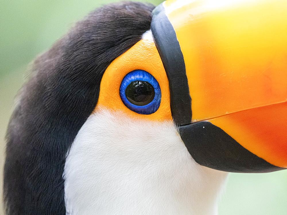 Captive toco toucan, Ramphastos toco, Parque das Aves, Foz do Iguav?u, Paranv? State, Brazil.