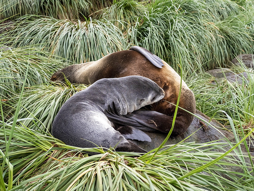Antarctic fur seal, Arctocephalus gazella, mother nursing her pup, Cooper Bay, South Georgia. - 1112-5138