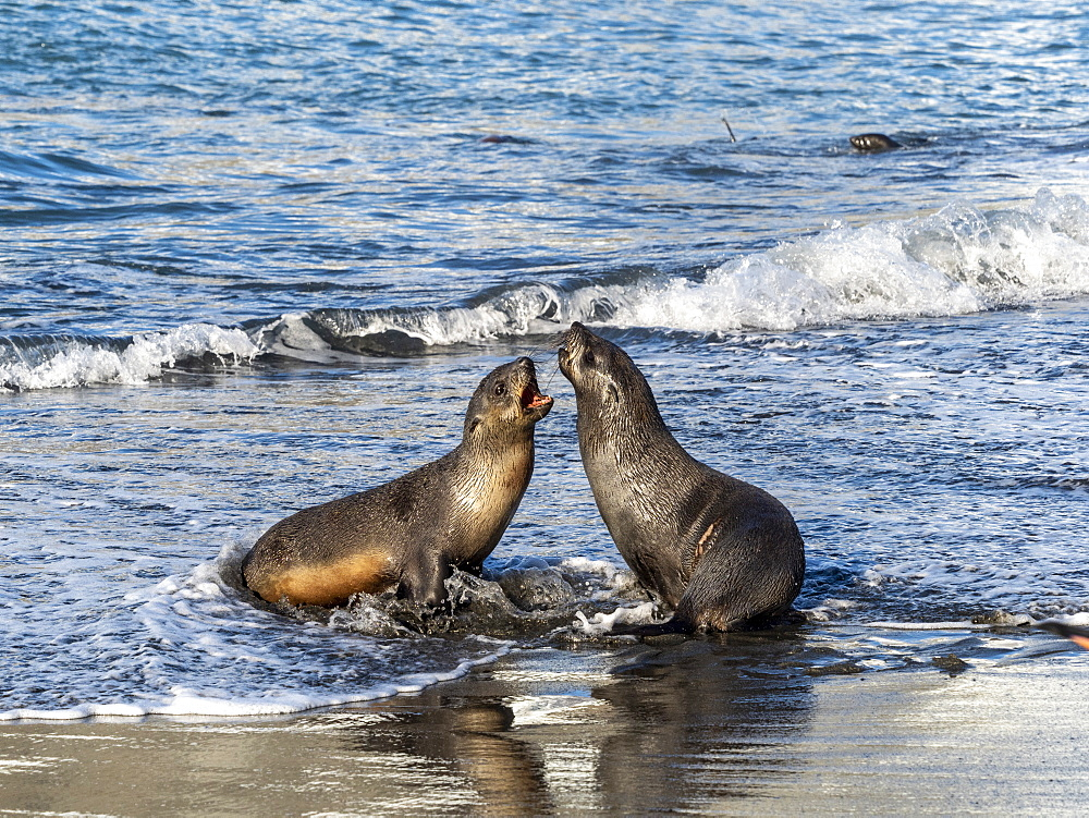 Juvenile Antarctic fur seals, Arctocephalus gazella, in the surf at Gold Harbor, South Georgia.