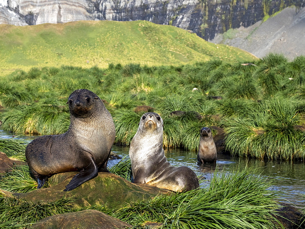 Juvenile Antarctic fur seals, Arctocephalus gazella, in the tussock grass at Gold Harbor, South Georgia.