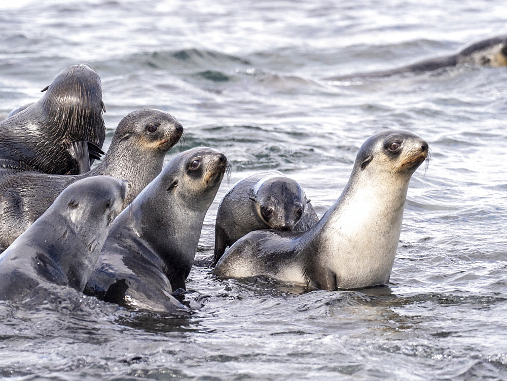 Juvenile Antarctic fur seals, Arctocephalus gazella, in the surf at Prion Island, South Georgia.
