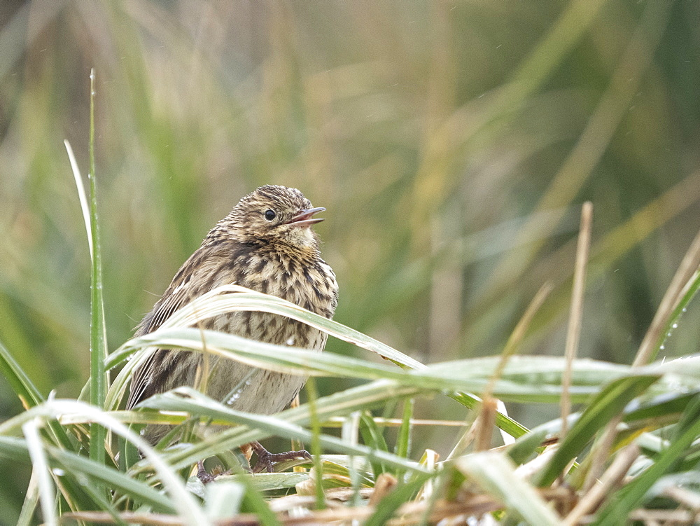 Adult endemic South Georgia pipit, Anthus antarcticus, in tussah grass in Stromness Harbor, South Georgia.