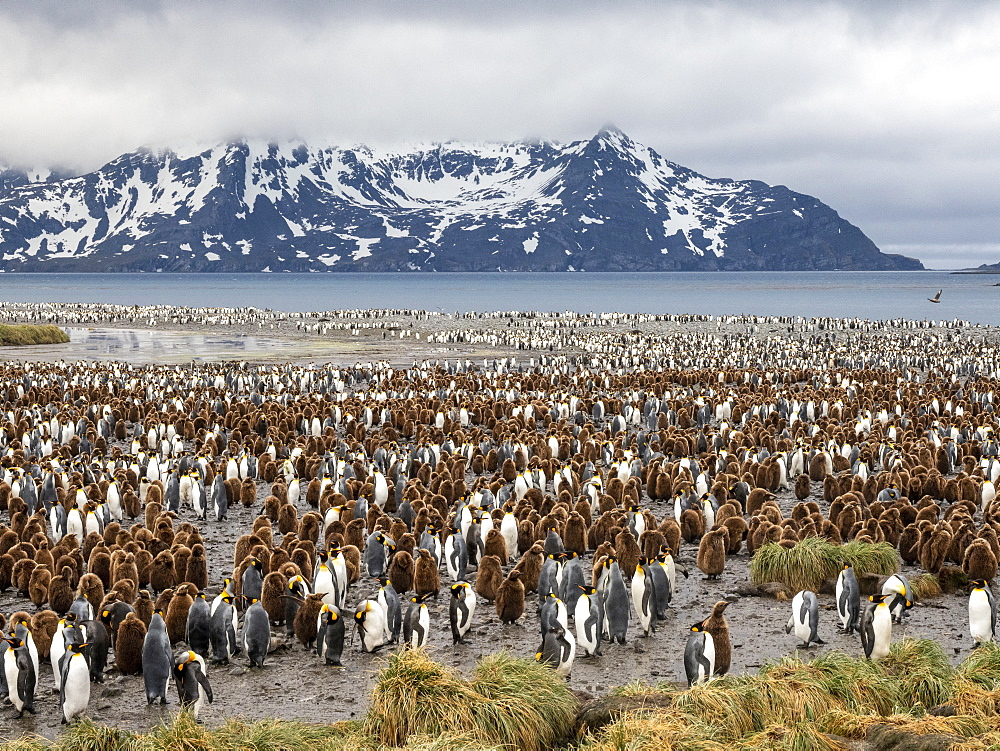 King penguin, Aptenodytes patagonicus, breeding colony at Salisbury Plain, South Georgia.