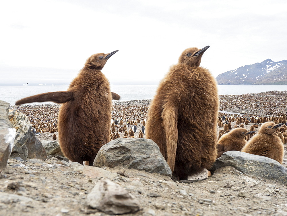 King penguin, Aptenodytes patagonicus, chicks called Okum Boys at Gold Harbor, South Georgia.