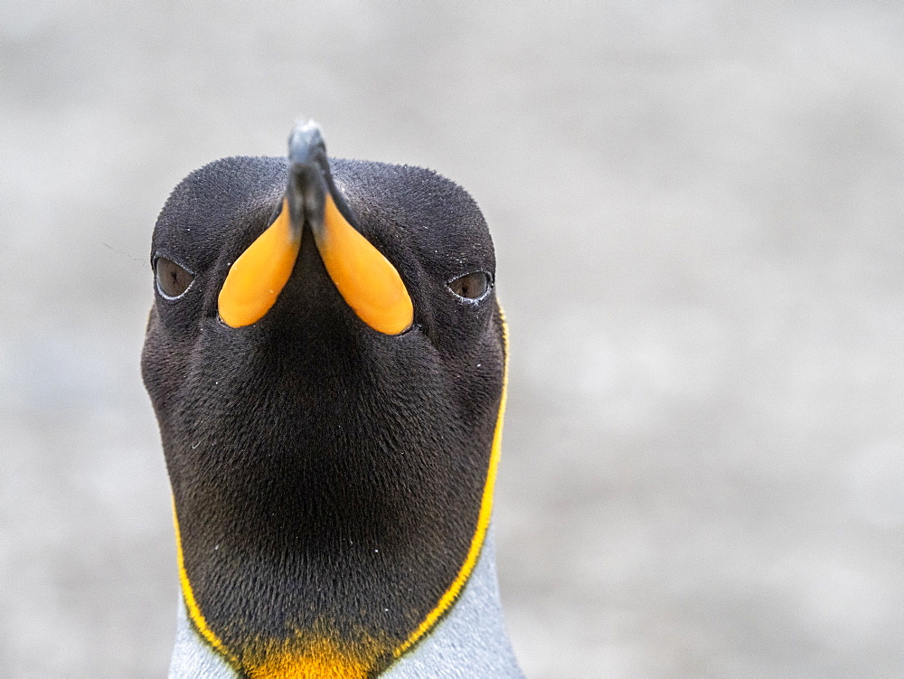 King penguin, Aptenodytes patagonicus, head detail at its breeding colony at St. Andrews Bay, South Georgia.