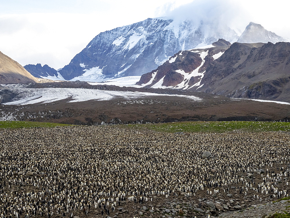 King penguin, Aptenodytes patagonicus, breeding colony at Gold Harbor, South Georgia.