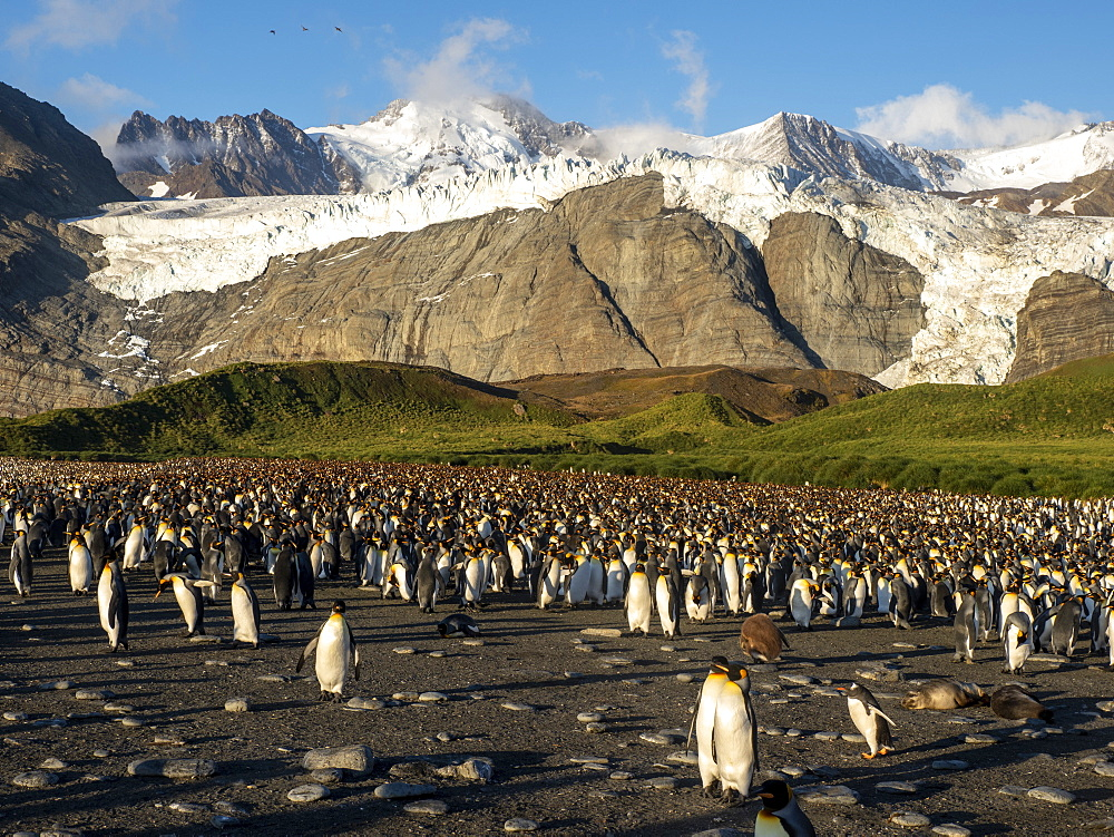 King penguins, Aptenodytes patagonicus, at breeding colony in Gold Harbor, South Georgia.