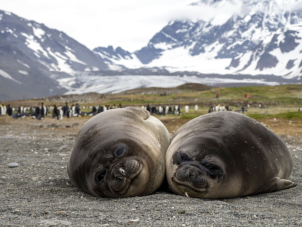 Young southern elephant seals (Mirounga leoninar), on the beach in St. Andrews Bay, South Georgia, Polar Regions