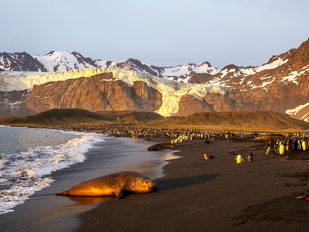 Southern elephant seal bull (Mirounga leoninar), on the beach at sunrise in Gold Harbor, South Georgia, Polar Regions