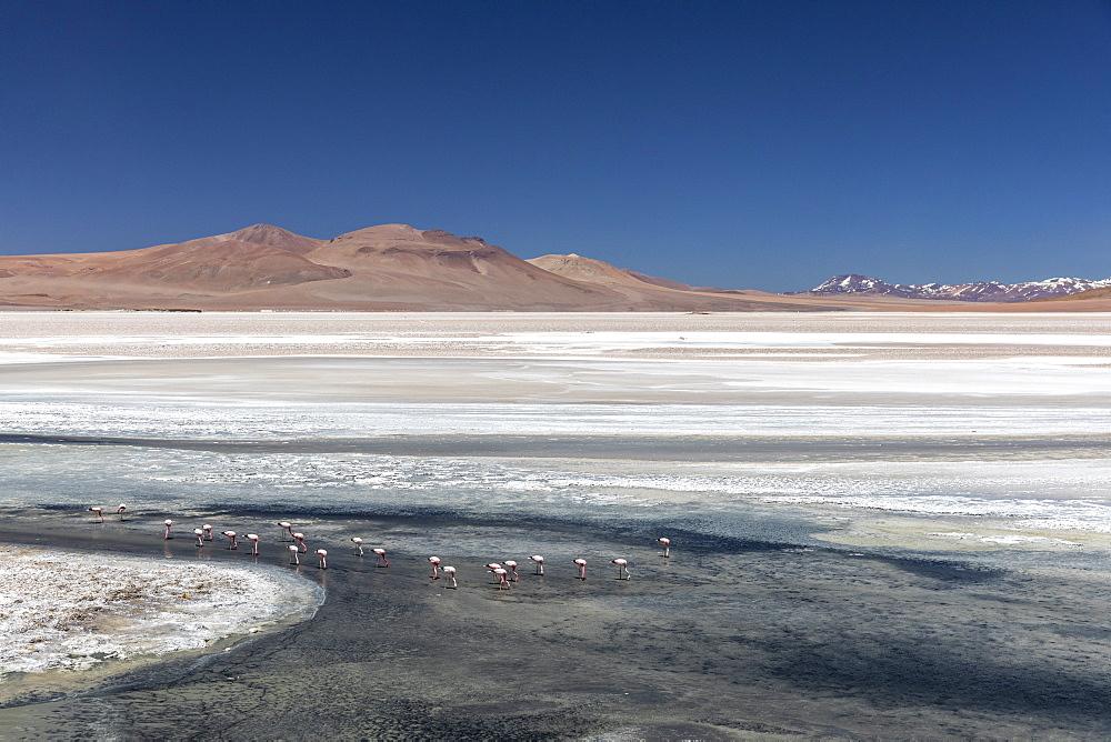 Andean flamingos (Phoenicoparrus andinus), Laguna Tara, Los Flamencos National Reserve, Antofagasta Region, Chile, South America. - 1112-5336
