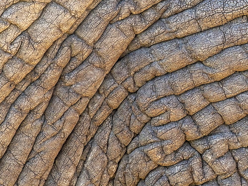 African bush elephant (Loxodonta africana), skin detail, Tarangire National Park, Tanzania, East Africa, Africa