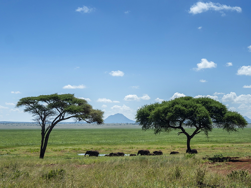 A herd of African bush elephants (Loxodonta africana), Tarangire National Park, Tanzania, East Africa, Africa
