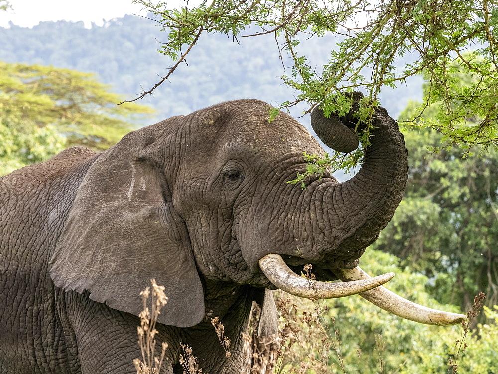African bush elephant (Loxodonta africana), feeding inside Ngorongoro Crater, Tanzania, East Africa, Africa