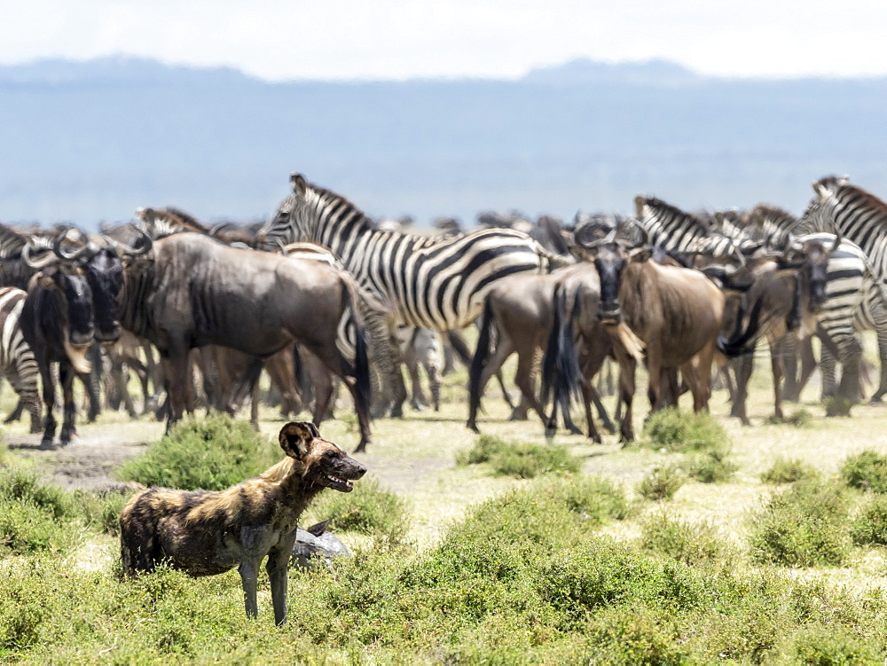 African wild dog (Lycaon pictus), probing zebras and wildebeest in Serengeti National Park, Tanzania, East Africa, Africa