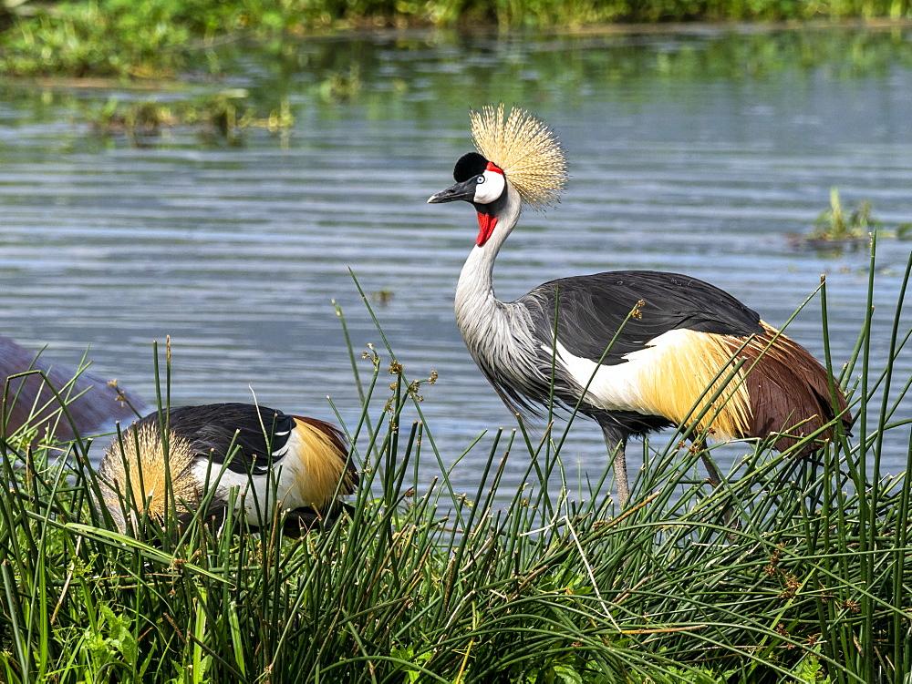 Adult African crowned crane (Balearica regulorum), Ngorongoro Crater, Tanzania, East Africa, Africa