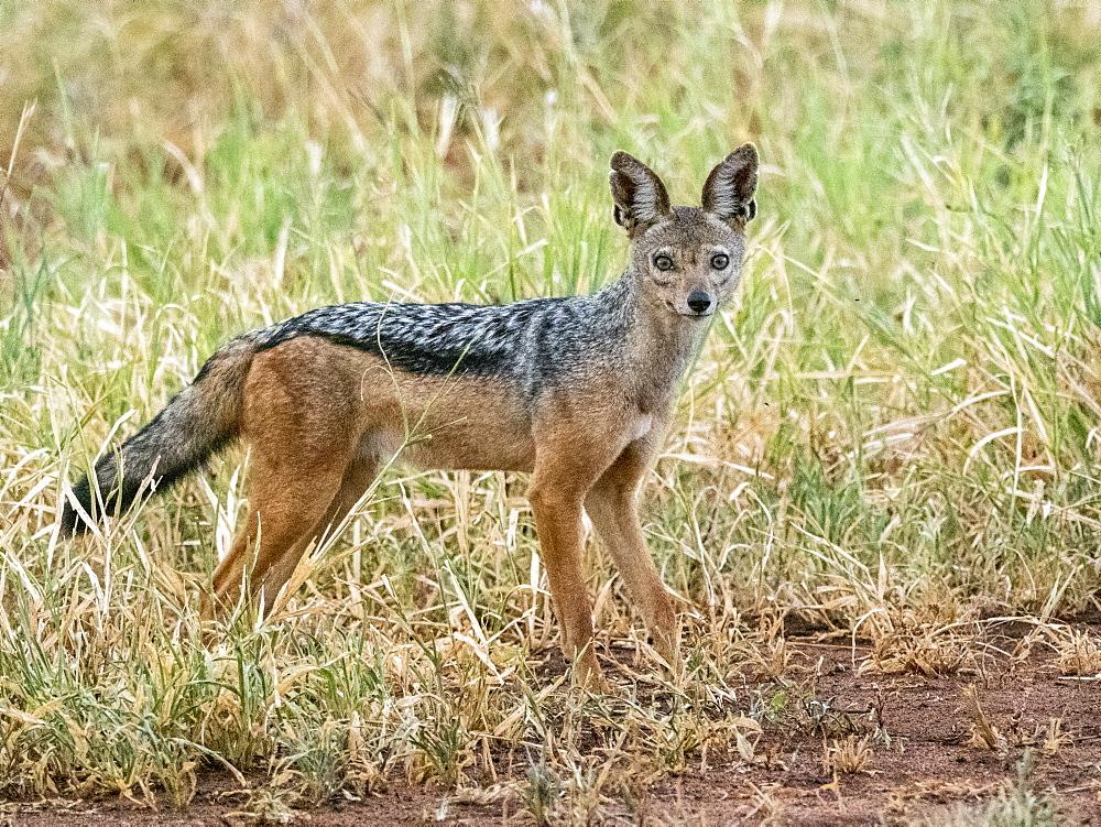 An adult black-backed jackal (Lupulella mesomelas), Tarangire National Park, Tanzania, East Africa, Africa