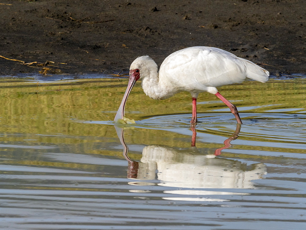 An adult African spoonbill (Platalea alba), feeding in Ngorongoro Crater, Tanzania, East Africa, Africa
