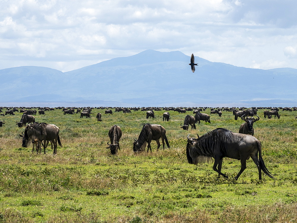 A confusion of blue wildebeest (brindled gnu) (Connochaetes taurinus), on the Great Migration, Serengeti National Park, Tanzania, East Africa, Africa