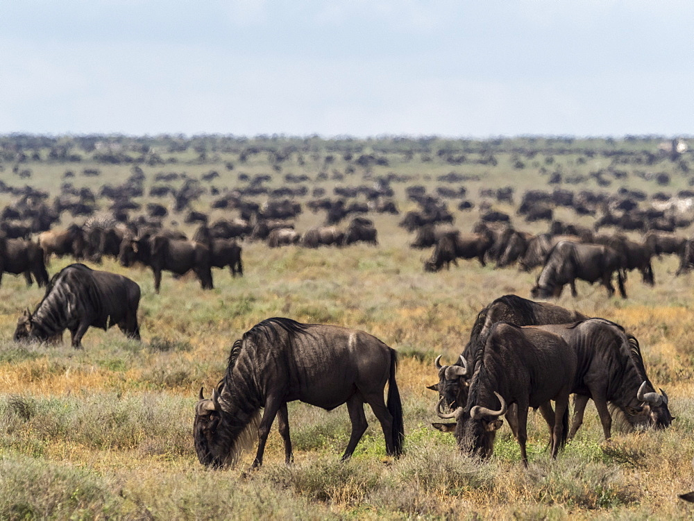 A confusion of blue wildebeest (Connochaetes taurinus), on the Great Migration, Serengeti National Park, Tanzania, East Africa, Africa