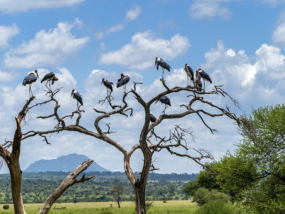 Adult marabou storks (Leptoptilos crumenifer), roosting in a tree in Tarangire National Park, Tanzania, East Africa, Africa