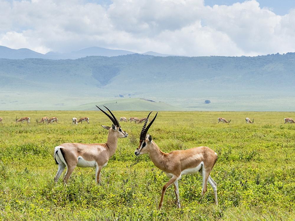 Adult male Grant's gazelles (Nanger granti), inside Ngorongoro Crater, UNESCO World Heritage Site, Tanzania, East Africa, Africa
