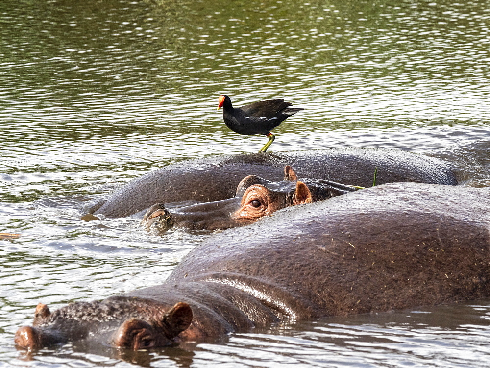An adult hippopotamus (Hippopotamus amphibius) with a common moorhen, Ngorongoro Crater, Tanzania, East Africa, Africa