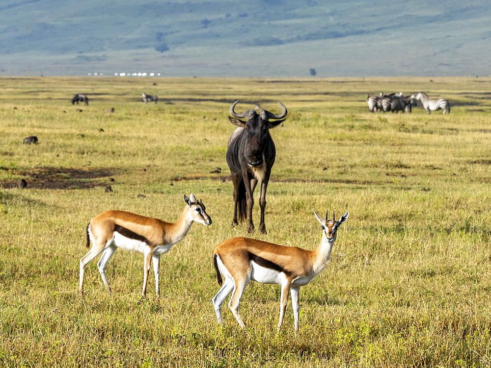Thomson's gazelles (Eudorcas thomsonii), in Ngorongoro Crater, UNESCO World Heritage Site, Tanzania, East Africa, Africa