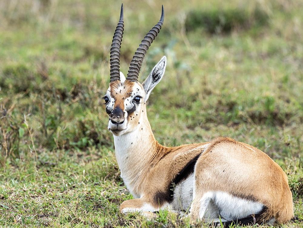 Thomson's gazelle (Eudorcas thomsonii), Serengeti National Park, Tanzania, East Africa, Africa