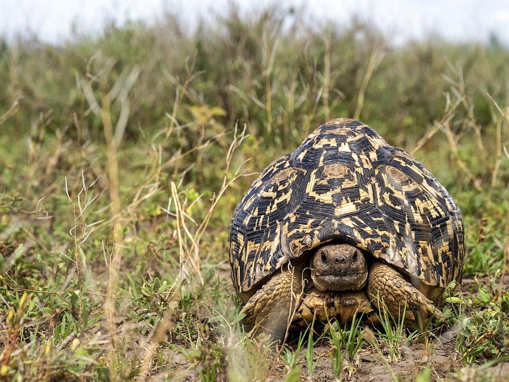 Adult leopard tortoise, Stigmochelys pardalis, in Serengeti National Park, Tanzania, Africa.