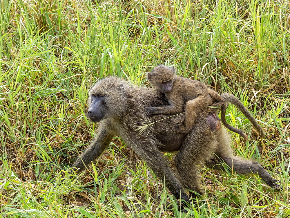 Adult olive baboon, Papio anubis, carrying juvenile on its back in Tarangire National Park, Tanzania, Africa.