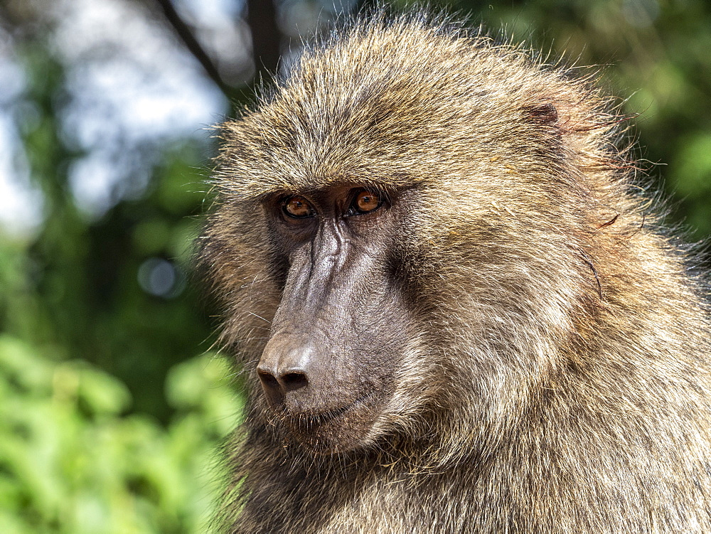 Adult olive baboon, Papio anubis, in Ngorongoro Conservation Area, Tanzania, Africa.