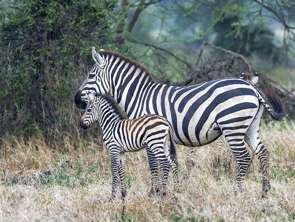 Plains zebra, Equus quagga, mother and colt in Serengeti National Park, Tanzania, Africa.