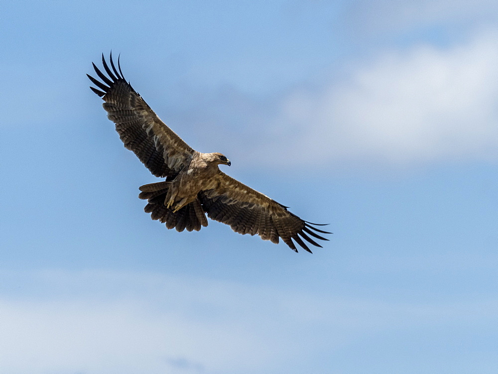 An adult tawny eagle, Aquila rapax, in flight in Serengeti National Park, Tanzania, Africa.