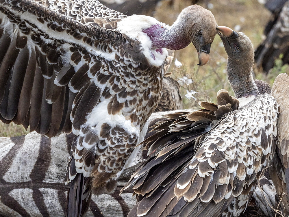 Rüppell's vultures, Gyps rueppelli, on the carcass of a plains zebra in Serengeti National Park, Tanzania, Africa.