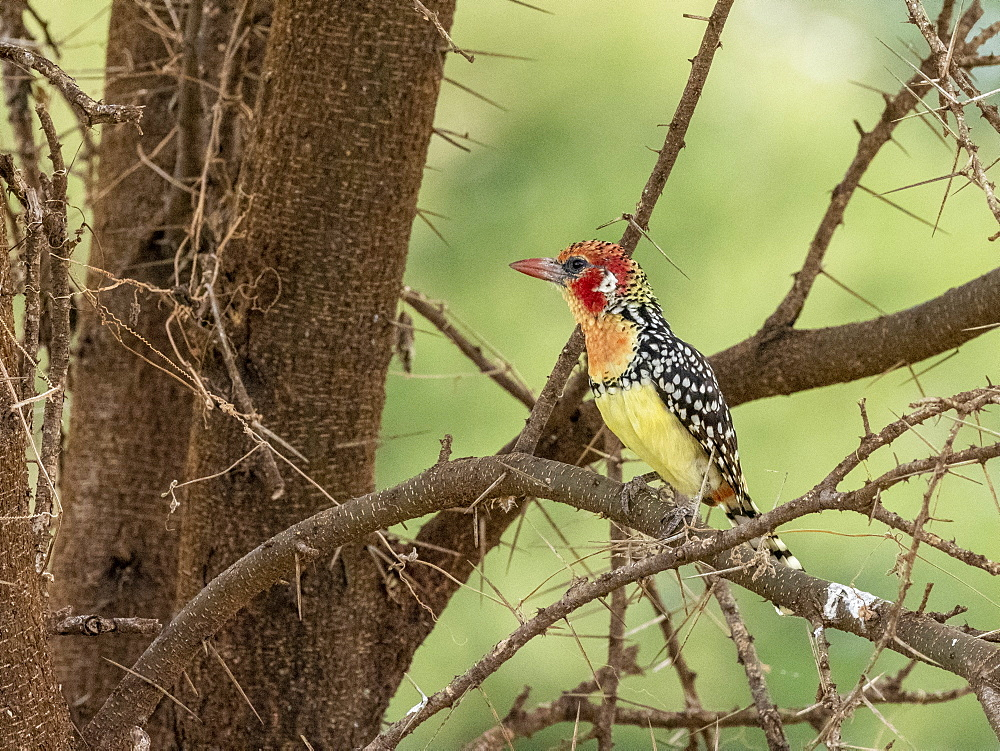 An adult red-and-yellow barbet, Trachyphonus erythrocephalus, in Tarangire National Park, Tanzania, Africa.
