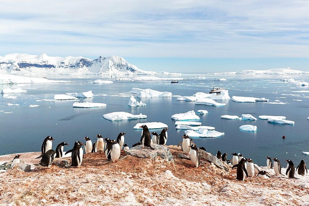 Gentoo penguin, Pygoscelis papua, breeding colony on Cuverville Island, Antarctica. - 1112-5790