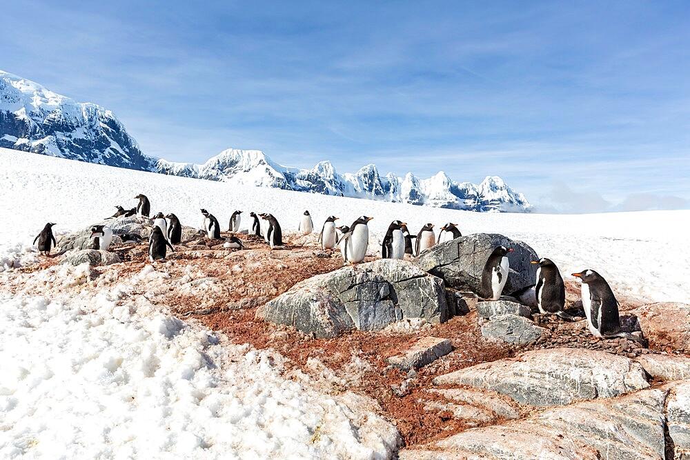 Gentoo penguin, Pygoscelis papua, breeding colony on Weincke Island, Naumeyer Channel, Antarctica. - 1112-5792