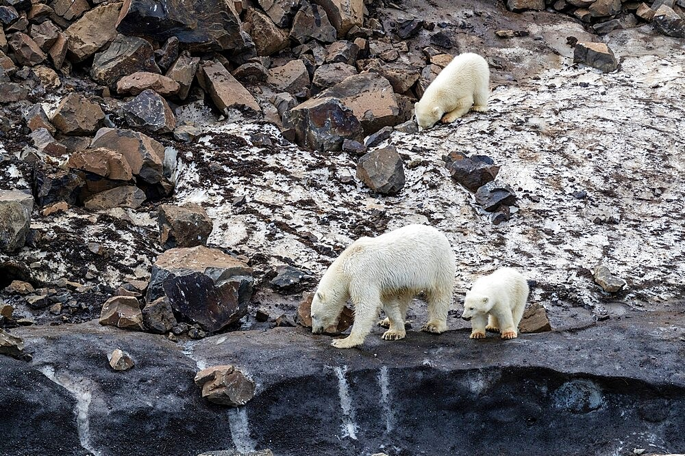 A mother polar bear (Ursus maritimus), with two cubs of the year foraging for food at Cape Brewster, Greenland, Polar Regions - 1112-5849